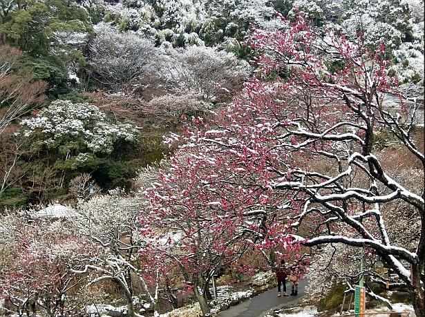 雪化粧した八重寒紅。紅色をした早咲きの八重梅です