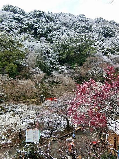 こちらも雪をかぶった鹿児島紅(右側)。濃紅色が鮮やか