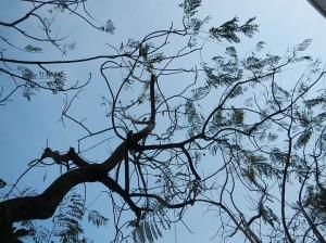 海岸沿いに植樹されたジャカランダの木は、不思議な形の枝をのばしています。初夏にうす紫色の可憐な花が咲きます