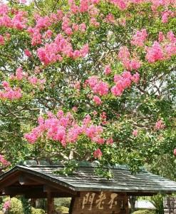 興禅寺「不老門」の百日紅
